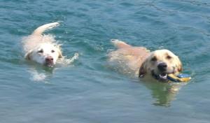 doggiesswimming-300x176